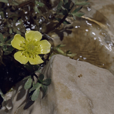 Ranunculus Repens or The Creeping Buttercup